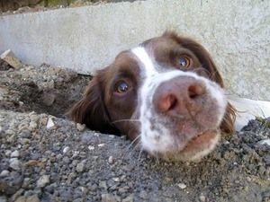 Dog digging hole under fence