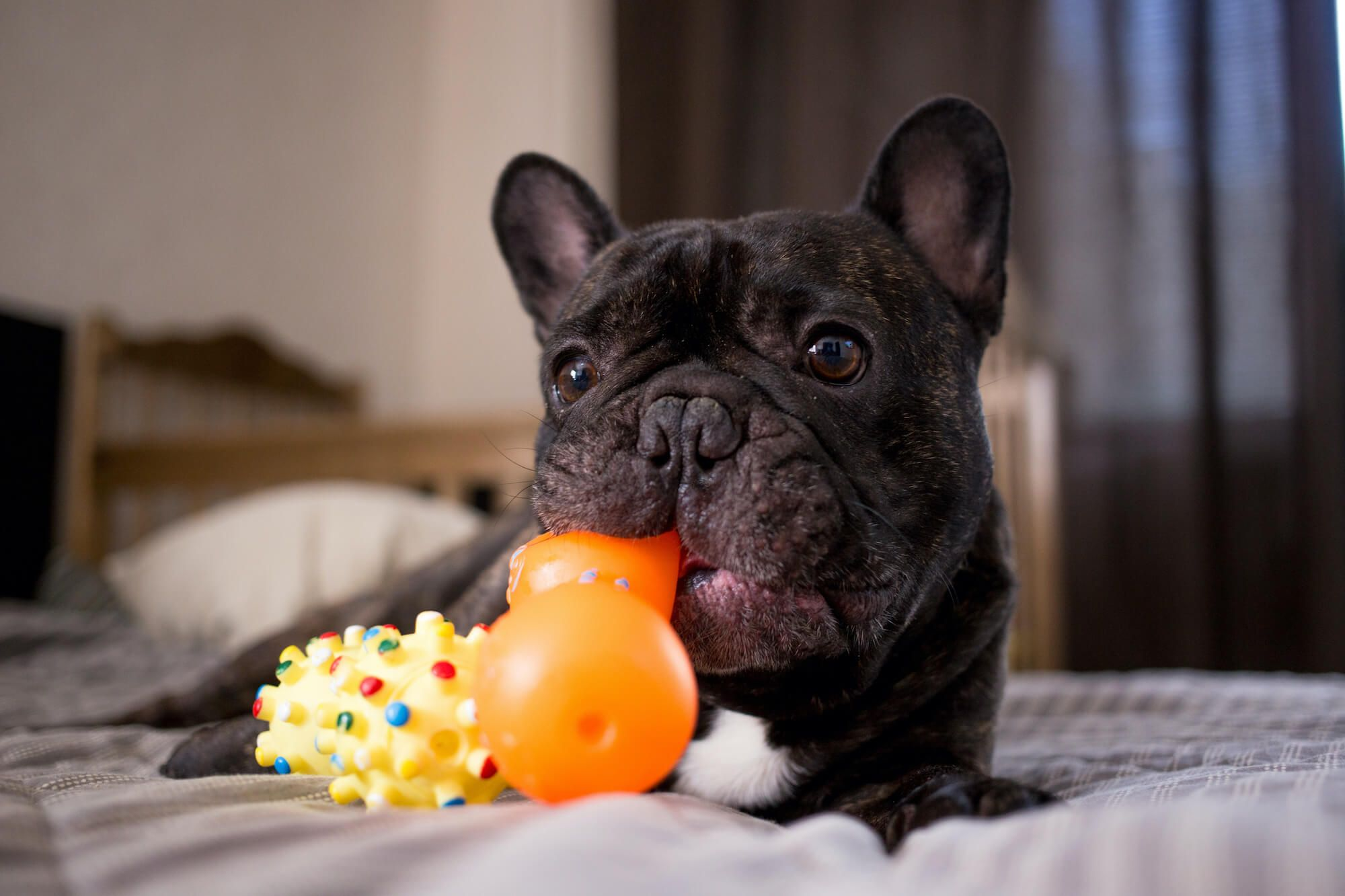 5 Best Toys for French Bulldogs
