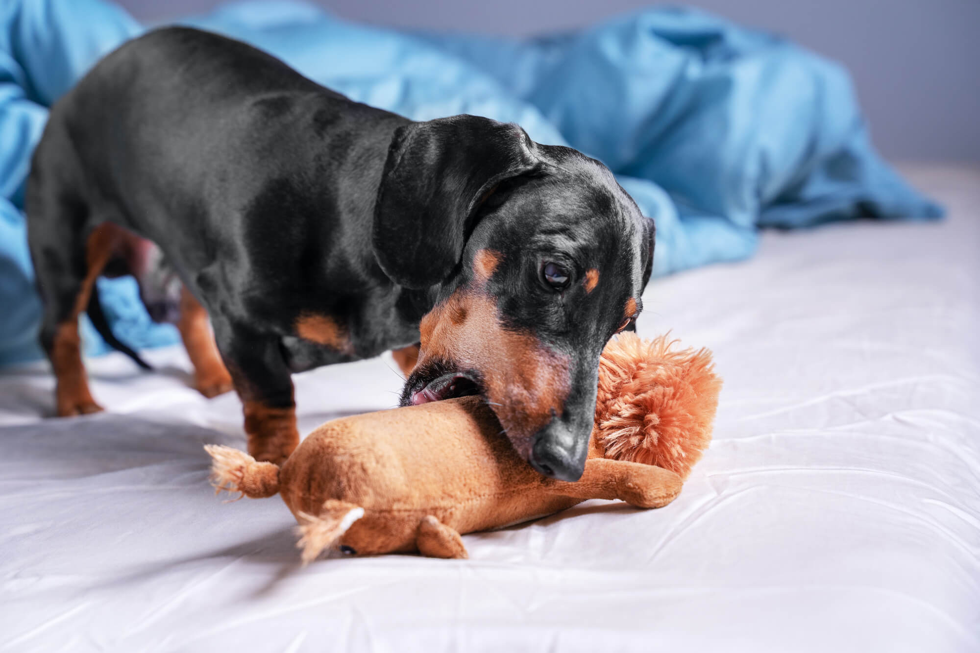 Top 6 Dachshund Dog Toys