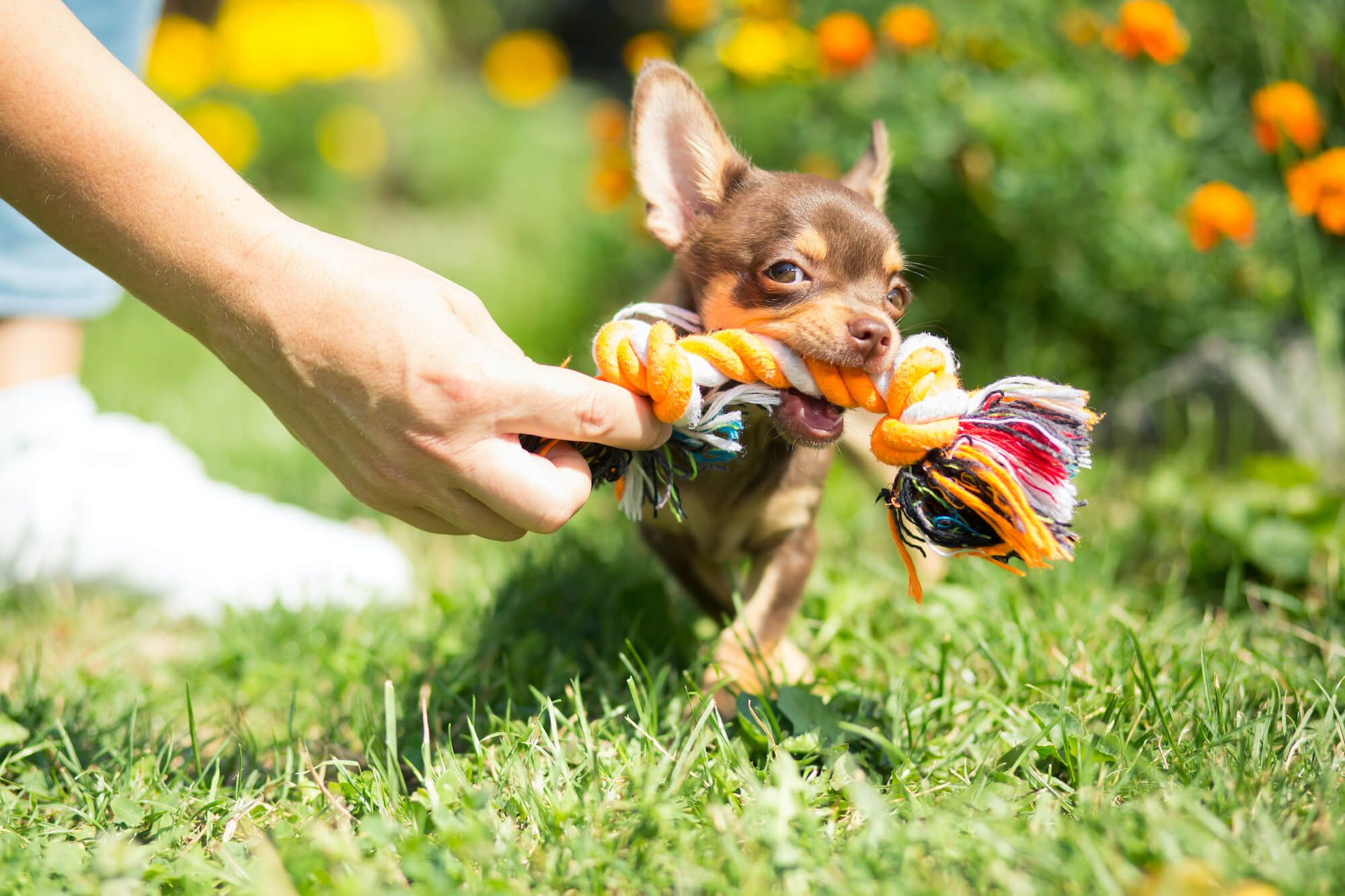 Top 5 Chihuahua Toys