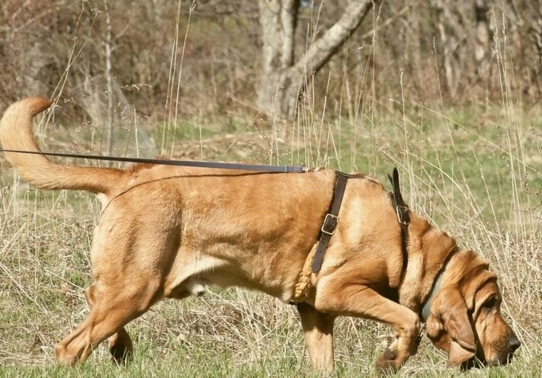 Use A Bloodhound to find your dog