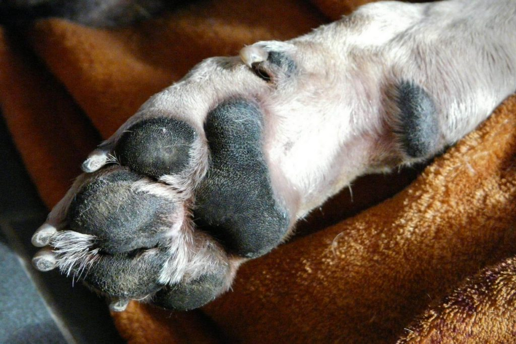 Bottom of dog paw with nails and pads.