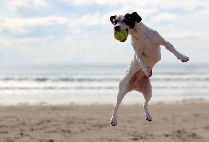 dog fetching ball from iFetch