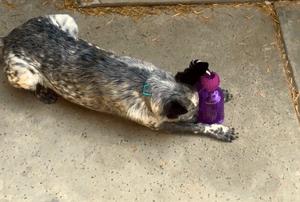 Dog playing with Busy Buddy Tug a Jub