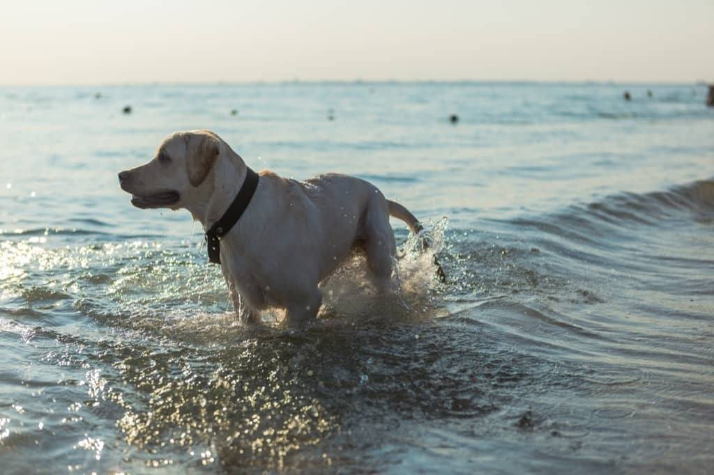Dog with GPS tracker in the water