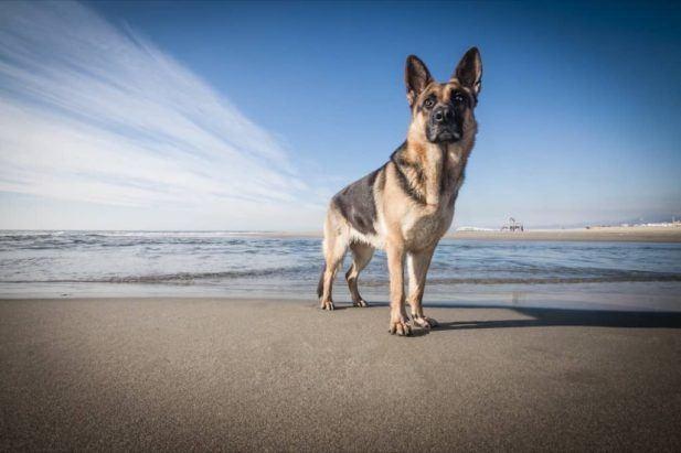 How Smart Are German Shepherds