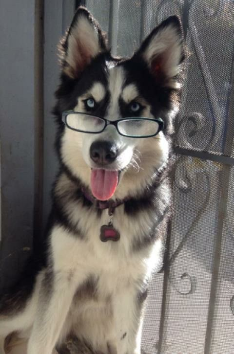 How smart is this huskie?