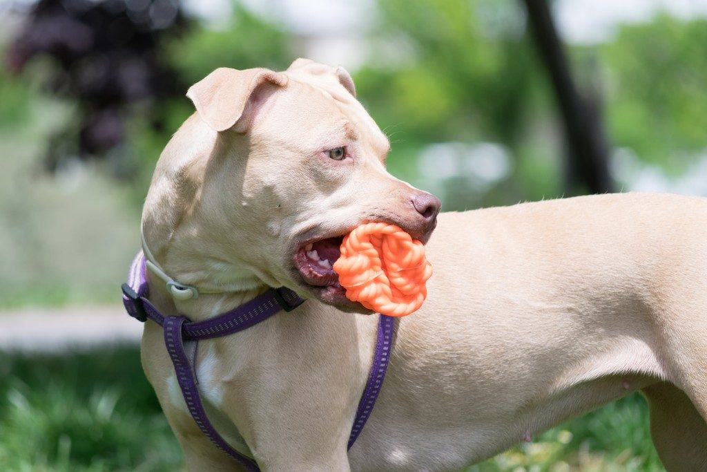 Top 5 Indestructible Dog Toys For Pit bulls