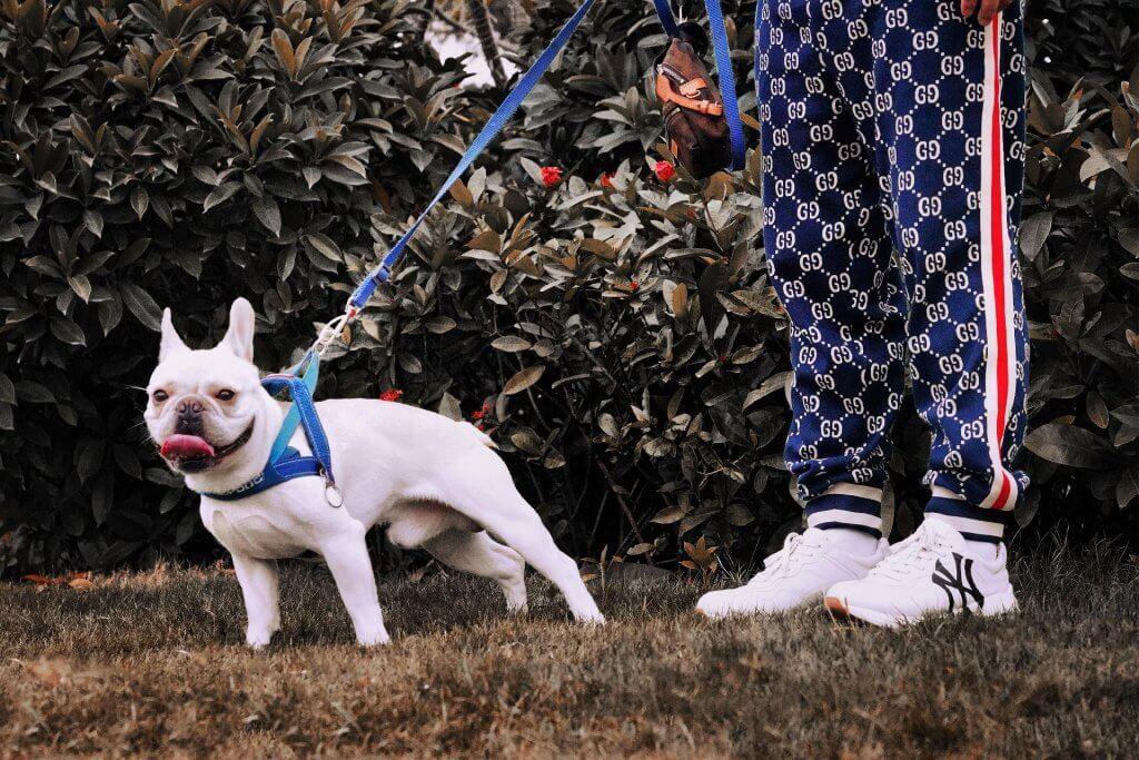 Bull Terrier pulling on harness