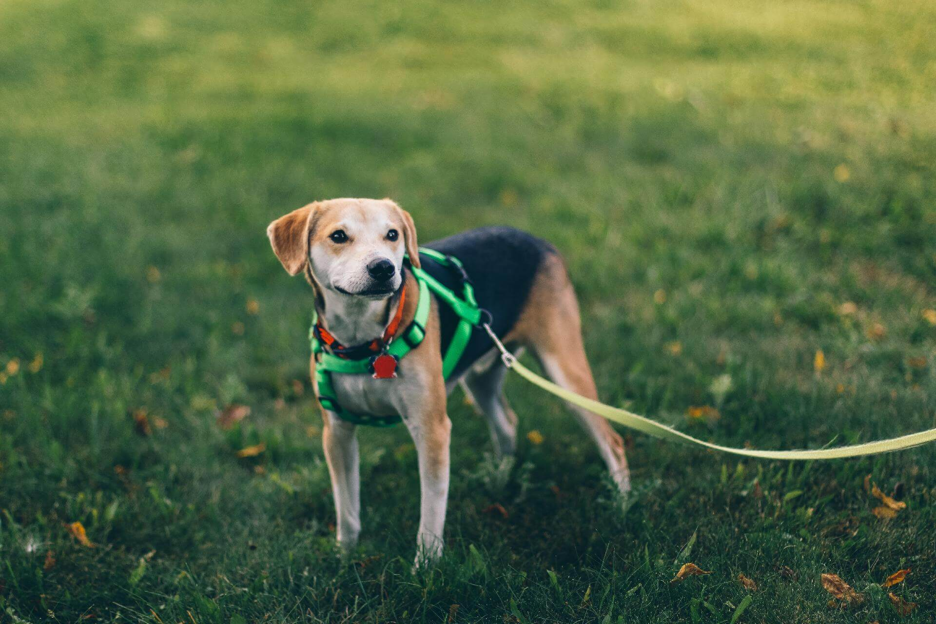 Dog wearing an escape proof harness