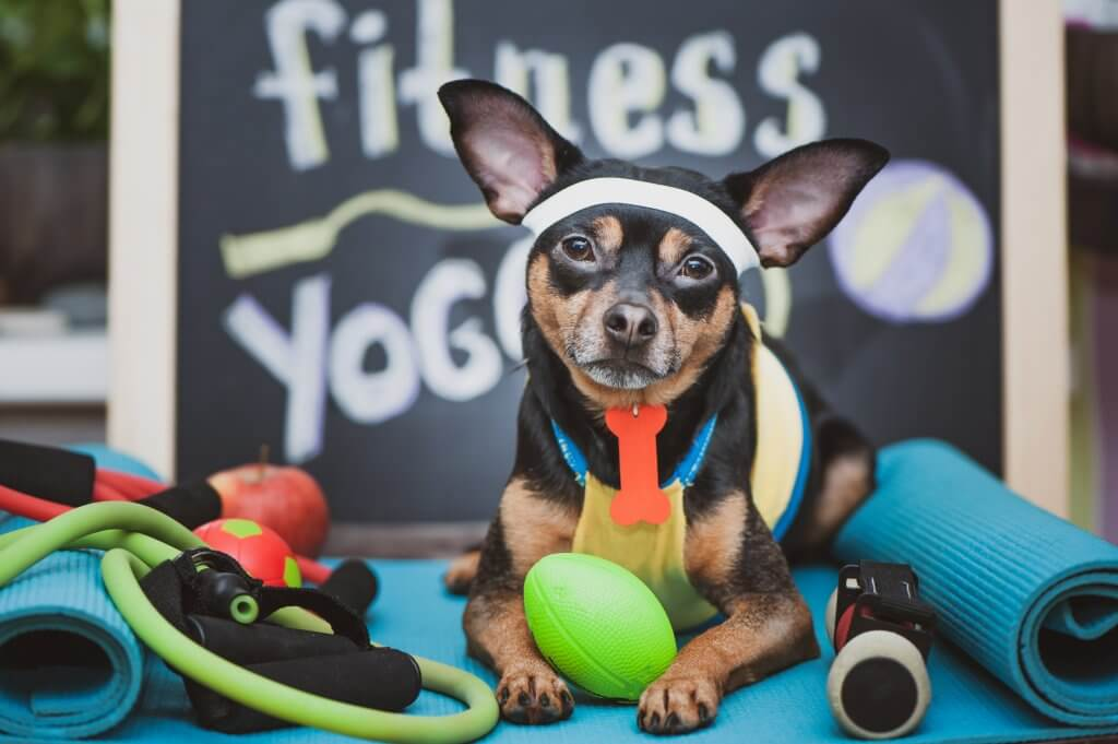 dog focused on his fitness plan