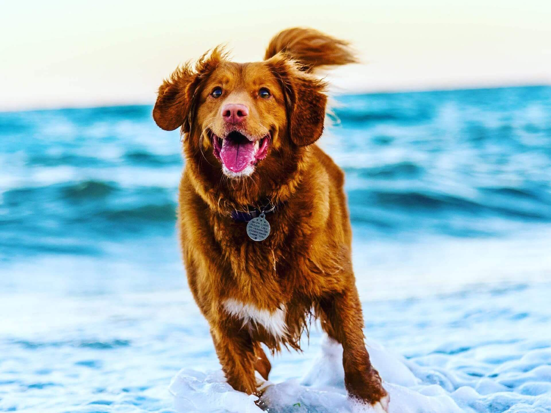 Healthy and active dog running on the beach