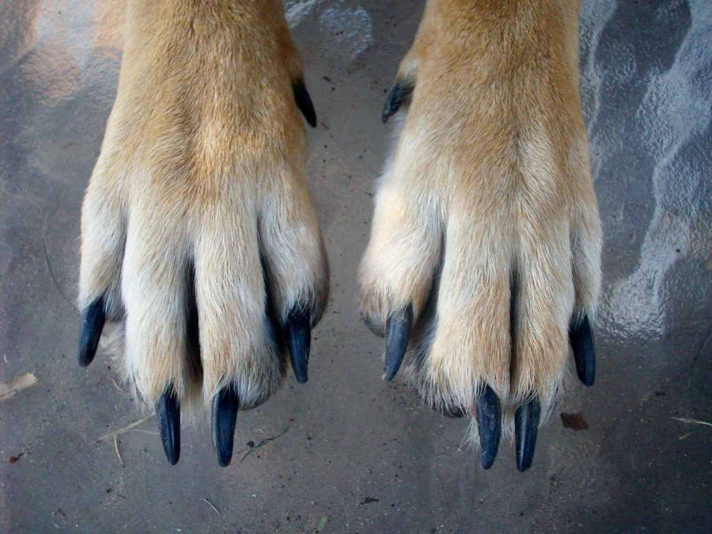 Dog with long nails that need grinding