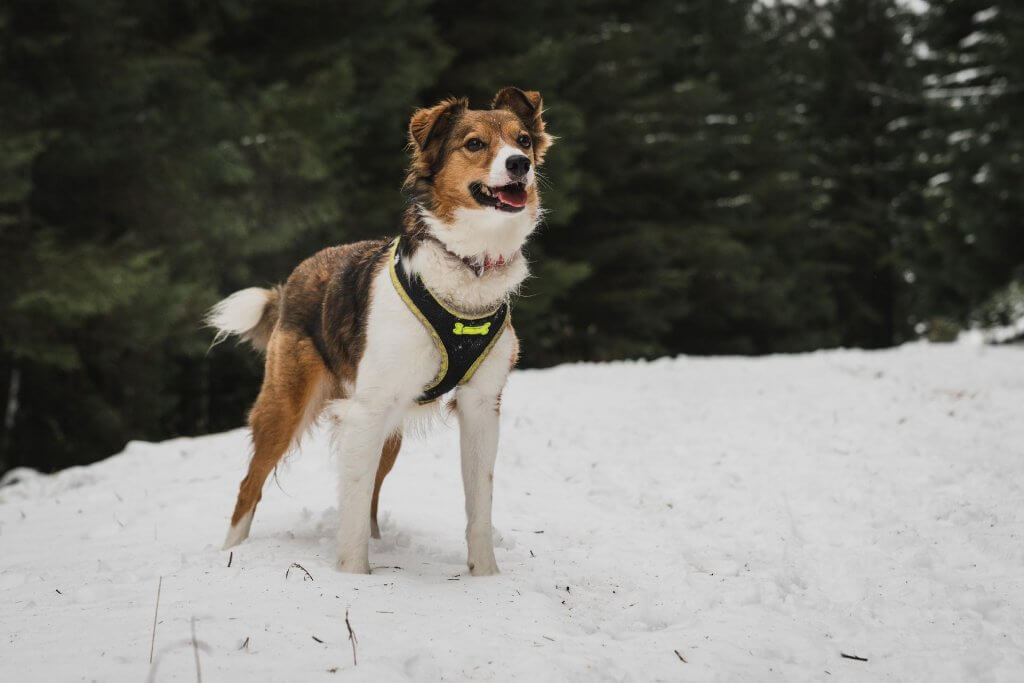 Dog with harness that fits well